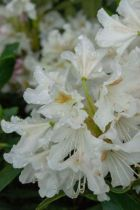 Rhododendron* x \'Cunningham\'s White\'
