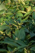 Rhododendron* x \'Gomer Waterer\'