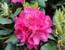 Rhododendron* x\' Pearce\'s American Beauty\'