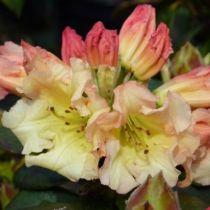 Rhododendron* x \'Saffrano\'