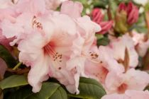 Rhododendron* x \'Virginia Richards\'
