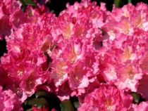 Rhododendron* yakushimanum \'Kalinka Rose\'