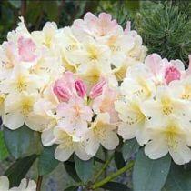 Rhododendron* yakushimanum \'Percy Wiseman\'