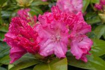 Rhododendron Germania, arbuste persistant vert à floraison rose au printemps.