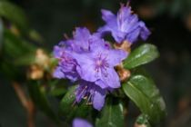 Rhododendron nain \'Gristede\'