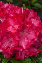 Rhododendron Wilgens Ruby, arbuste persistant vert aux fleurs rouge foncé à macule rouge noir