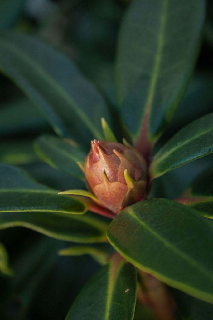 Rhododendron x \' Half lan Dem \' à fleur rouge au printemps