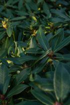 Rhododendron x \' Half lan Dem \'