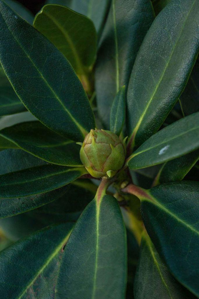 Rhododendron x \' Markeeta\'s Prize \', arbuste persistant au feuillage vert et à la floraison rouge vif de printemps.