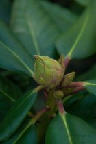 Rhododendron x \' Scintillation \'