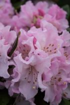 Rhododendron x \'Christmas Cheer\'