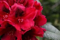 Rhododendron x \'Lord Robert\'