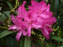 Rhododendron anna rose withney, arbuste persistant au feuillage vert et à floraison rose vif au printemps.