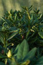 Rhododendron x \' Cosmopolitan \' à floraison rose vif à macule pourpre au printemps