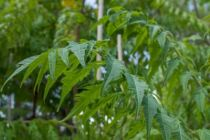 IMG_0237, arbre au feuillage caduc vert au printemps virant au rouge orangé en automne et aux fleurs jaunâtre en été et rouge amarante en automne jusqu\'en hiver.