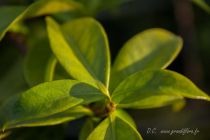 Rhyncospernum jasminoides ou faux jasmin à fleur étoilée blanche parfumée