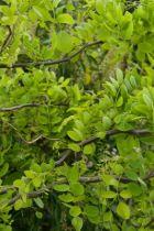 IMG_6977, arbre caduc au feuillage vert, facilement cassant.