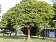 Robinia pseudoacacia Umbraculifera small, arbre caduc au feuillage vert.