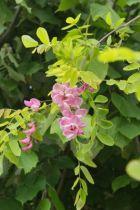 Robinia pseudoacacia \'casque rouge\' ou acacia rose, arbre de taille moyenne à la floraison rose en mai-juin, à planter abriter des grands vents.