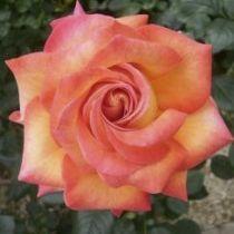 Rosier \'Agrocampus\' ®adacokalo, buisson caduc aux feuilles vert foncé et aux fleurs crème aux liseré rose foncé au printemps.