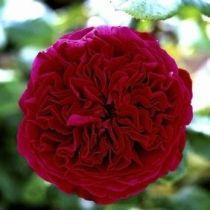 Rosier \'Alain Souchon\' ®meikarouz, buisson caduc aux feuilles vert foncé et aux fleurs rouge au printemps.