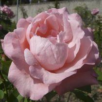 Rosier \'Alphée\', buisson caduc au feuillage vert foncé et aux fleurs rose tendre au printemps.