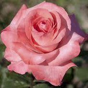 Rosier \'Arthur Rimbaud\' ®meitoifar, buisson caduc au feuillage vert foncé et aux fleurs rose au printemps.