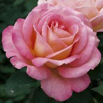 Rosier \'Astrée\', buisson caduc au feuillage vert foncé et aux fleurs rose saumoné et orange à l\'épanouissement au printemps.