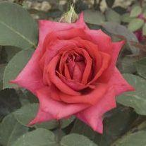 Rosier \'Bad Nauhein\', buisson caduc au feuillage vert foncé et aux fleurs rouge vif au printemps.