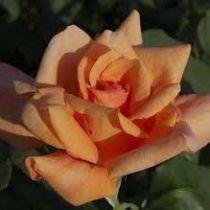 Rosier \'Beauté\', buisson caduc au feuillage vert foncé  et aux fleurs abricot clair au printemps.