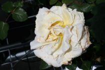 Rosier \'Bérénice\'