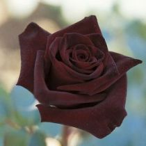 Rosier \'Black Baccara\' ®meidebenne, buisson caduc au feuillage vert foncé et aux fleurs rouge très foncé presque noir au printemps.