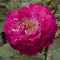 Rosier \'Blue Eden\' ®wekisolsblip, buisson caduc au feuillage vert foncé et aux fleurs rouge pourpre au printemps.