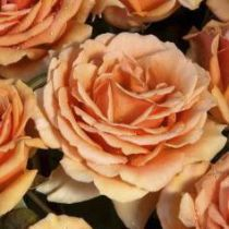 Rosier \'Bora Bora\' ®tanmarsa, buisson caduc au feuillage vert foncé et aux fleurs orange cuivré au printemps.