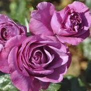Rosier \'Bossuet\' ®JACblupo, buisson caduc au feuillage vert foncé et aux fleurs pourpre violet au printemps.