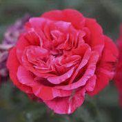 Rosier \'Brigitte Bardot\' ®oracham, buisson caduc au feuillage vert foncé et aux fleurs rouge strié de blanc au printemps.