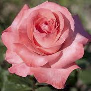 Rosier \'Catherine Deneuve\' ®meiprasampi, buisson caduc au feuillage vert et aux fleurs blond saumoné au printemps.