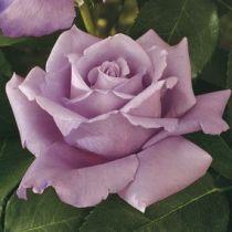 Rosier \'Charles De Gaulle\' ®meilanein, buisson caduc au feuillage vert foncé et aux fleurs mauve lilas au printemps.