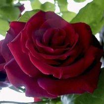 Rosier \'Chrysler Impérial\', buisson caduc au feuillage vert foncé et aux fleurs rouge cramoisi au printemps.