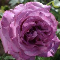Rosier \'Claude Brasseur\' ®meibriacus, Buisson caduc au feuillage vert foncé et aux fleurs violet pourpre au printemps.