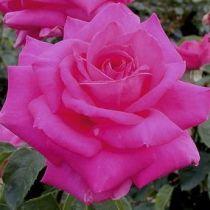 Rosier \'Criterion\', buisson caduc au feuillage vert foncé et aux fleurs rose rouge au printemps.