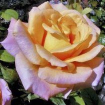 Rosier \'Diorama\', buisson caduc au feuillage vert foncé et aux fleurs jaune abricot au printemps.