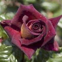 Rosier \'Eddy Mitchell\' ®meirysett, buisson caduc au feuillage vert foncé et aux fleurs rouge très foncé et jaune doré au printemps.