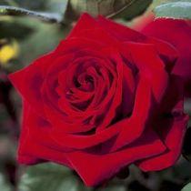 Rosier \'Edith Piaf\' ®meiramboys, buisson caduc au feuillage vert foncé et aux fleurs rouge au printemps.