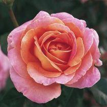 Rosier \'Elle\' ®meibderos, buisson caduc au feuillage vert foncé et aux fleurs jaune clair teinté d\'orange et de rose au printemps.
