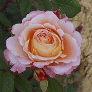 Rosier \'Fox Trot\' ®Tangust, buisson caduc au feuillage vert foncé et aux fleurs pêche au printemps.