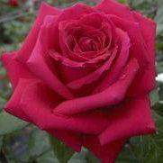 Rosier \'Grand Château\' ®tanelorak, buisson caduc au feuillage vert foncé et aux fleurs rouge foncé au printemps.