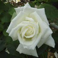 Rosier \'Grand Finale\' ®JACpihi, buisson caduc au feuillage vert sombre et aux fleurs blanc ivoire au printemps.
