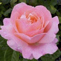 Rosier \'Isabelle Autissier\' ®adasilthé, buisson caduc au feuillage vert sombre et aux fleurs jaune pâle teintée de rose au printemps.