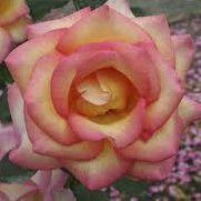 Rosier \'Jean Piat\' ®adacorhuit, buisson caduc au feuillage vert foncé et aux fleurs jaune ambré ourlé de rouge cerise au printemps.
